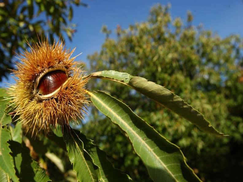 Image 0 - The chestnut